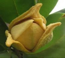 Soursop_flower
