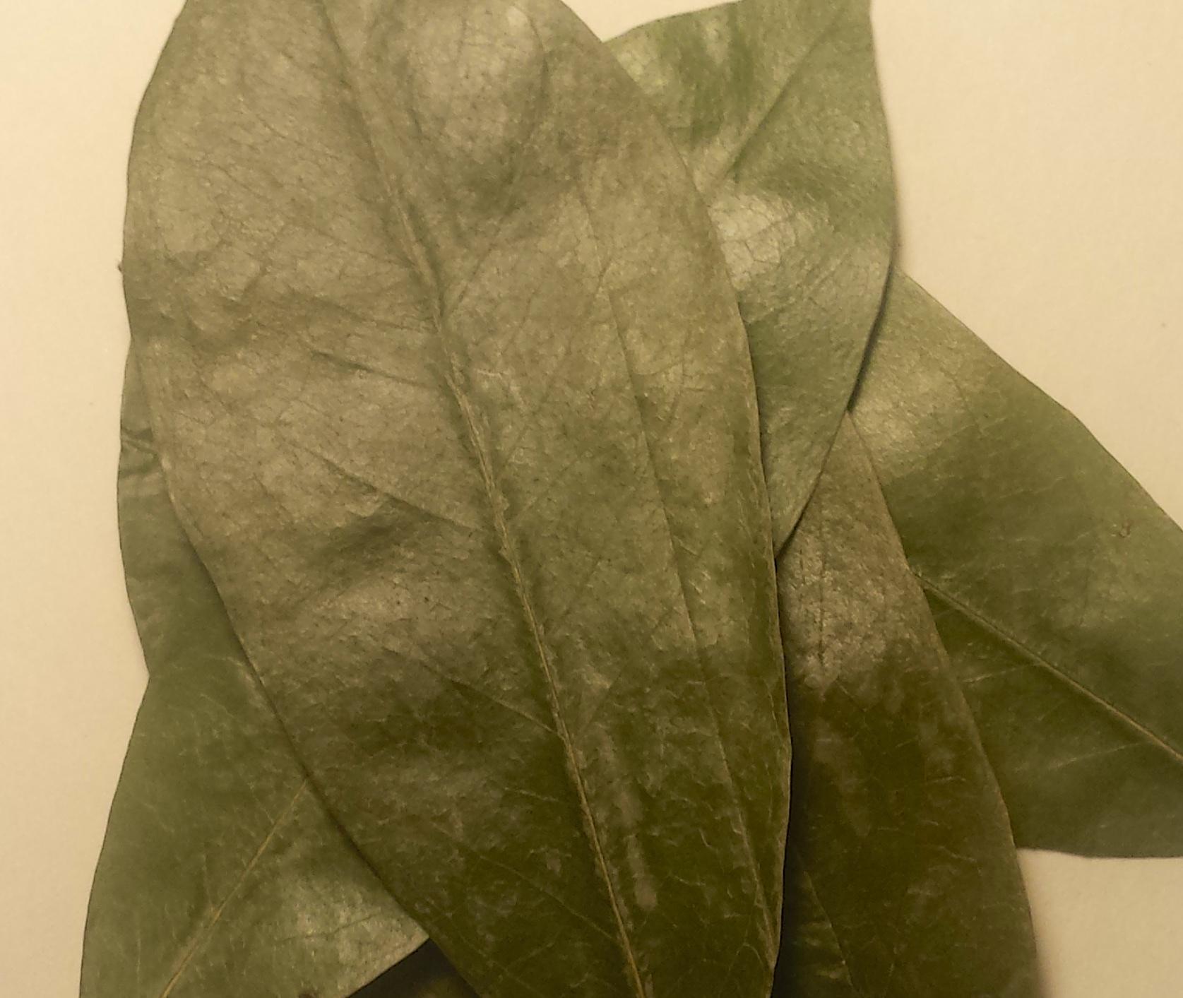 Guanoabana Leaves